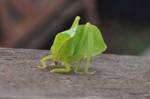 Borneo Leaf Insect