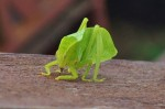 Leaf Insect Borneo